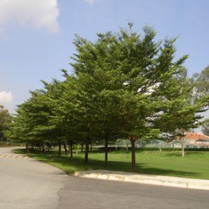 bán cây bàng đài loan