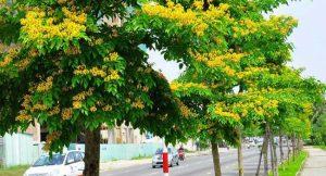 cây giáng hương trồng tại công trình đường xá